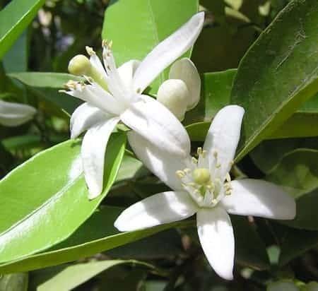 Huile essentielle de Neroli, Fleur d'oranger - Gaiia